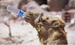 Camel-drinking-water